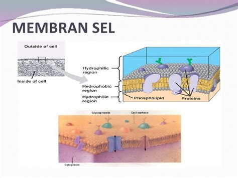 Biologi Sel Edisi 7 presentation biologi sel haiwan dan tumbuhan