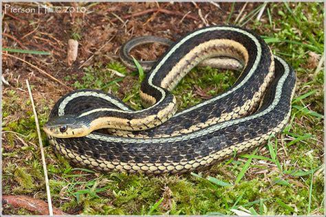 Garden Snake Wisconsin Eastern Garter Snake Thamnophis Sirtalis Sirtalis