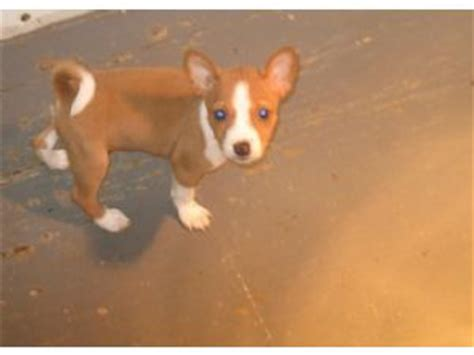 basenji puppies for sale in florida basenji puppies in kentucky
