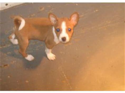 basenji puppies for sale nj basenji puppies in kentucky