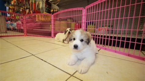 great pyrenees puppies for sale in ga pin silver yorkie poo on