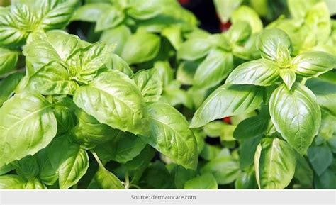 Tulsi Basil To Cure Skin Problems by 7 Wondrous Tulsi Pack Benefits For Skin