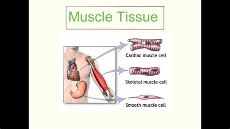 cells tissues organs systems youtube
