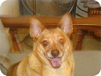 pug maryland pug for adoption in greensboro maryland bojangles breeds picture