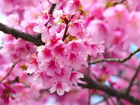 Wallpaper Cherry Flowers Wallpapers Cherry Blossom Flower