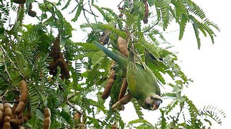 tamarind tree fruit breasted parakeet tamarind fruits bird