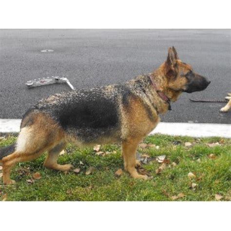 free puppies portland oregon akc gsd german shepherd breeder in portland oregon listing id 21975
