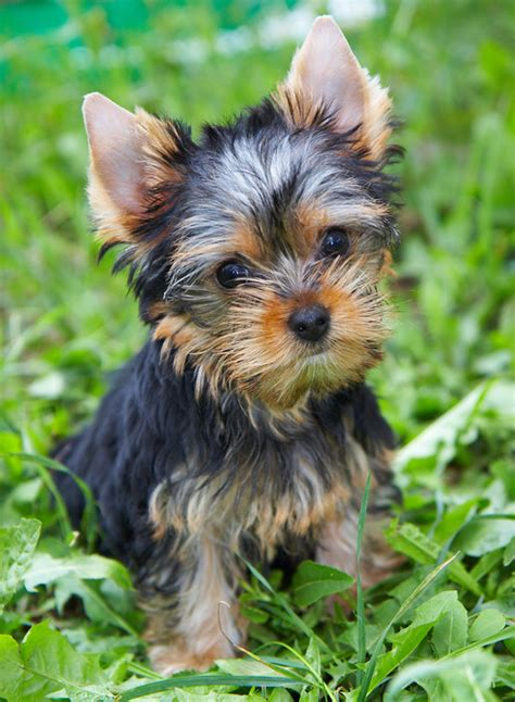 best names for yorkies 10 best terrier names yorkie terrier