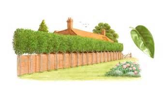 ligustrum japonicum tree privet planted as raised