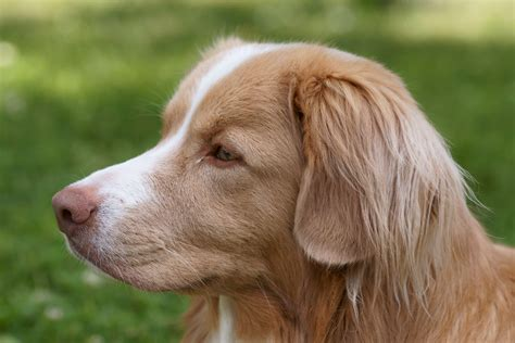 how to a to retrieve ducks scotia duck tolling retriever pictures posters news and on your