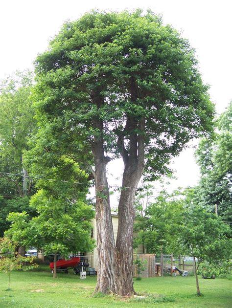 Find Pictures Of Sassafras Tree Pictures Information On The Sassafras Tree Species