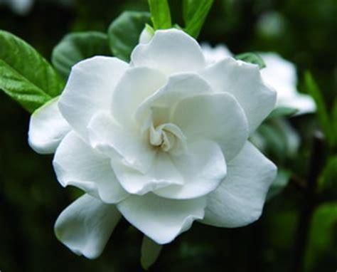 meraviglioso Fiori Da Giardino Foto #1: gardenia.jpg