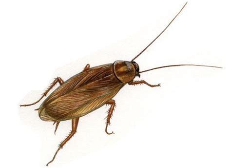 scarafaggi volanti in casa disinfestazione zecche da giardino e casa con solfac wp10