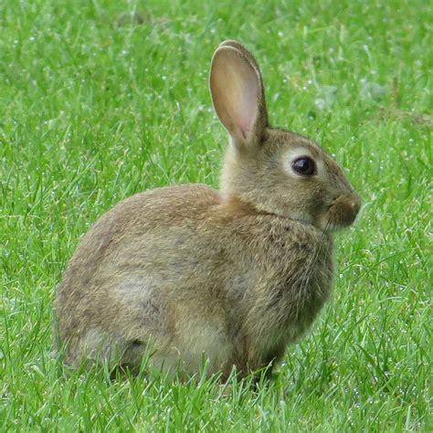 Rabbit L rabbit naturespot