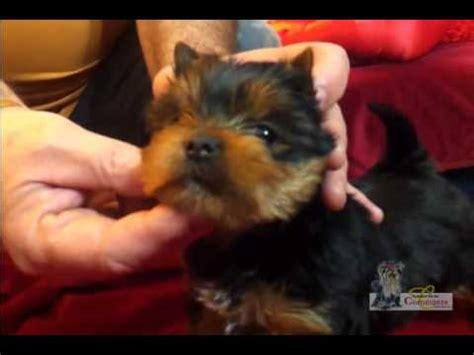 world s smartest yorkie worlds smartest cutest puppy misa minnie 31 wks terriers yorkies