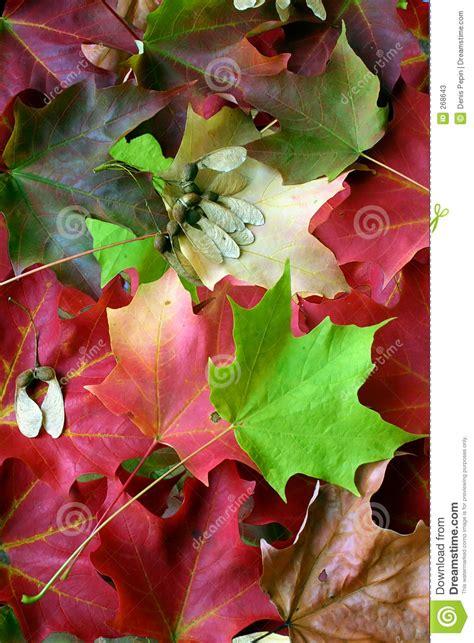 maple tree leaf arrangement multicolored maple leaf arrangement stock photos image 268643