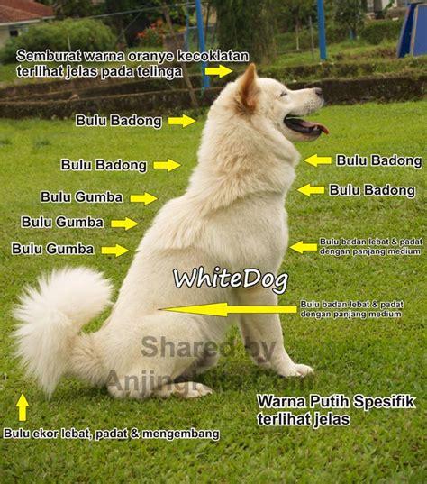 Anjing Kintamani Bali anjing kintamani bali perkin jenis anjing ras
