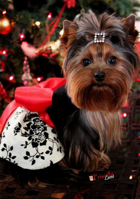 yorkie hair cutes face rounded 50 damn cute yorkie haircuts for your puppy hairstylec