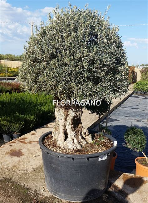 ulivo in vaso bonsai esemplare ulivo diam 100 vivaio piante da