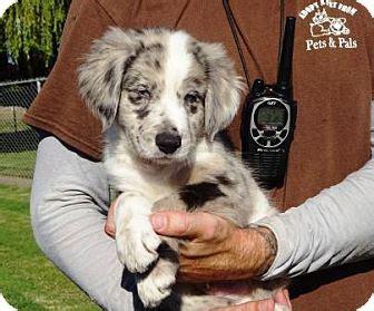 anatolian shepherd golden retriever mix dallas adopted puppy 7089 lathrop ca golden retriever anatolian shepherd mix