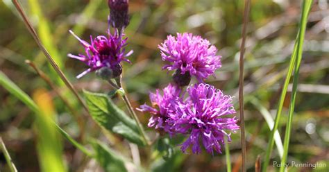 plant   month missouri ironweed clear lake chapter