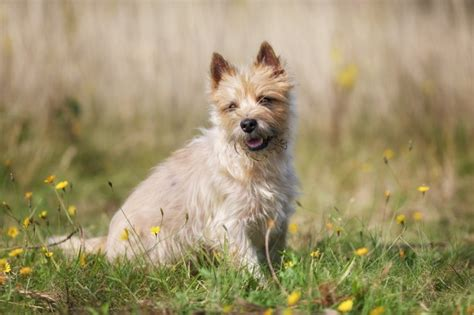 grooming picture for cairn terrier grooming and caring for the cairn terrier pets4homes