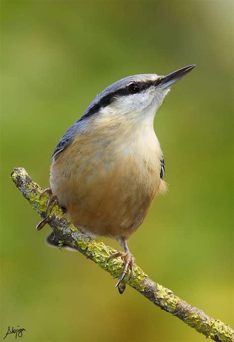 1000 images about nuthatches on pinterest