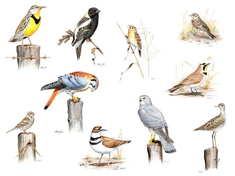 keeping track of grassland birds a 20 year perspective