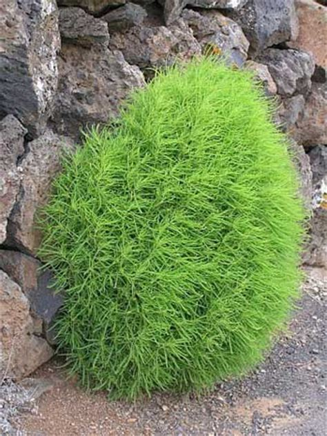 kochia plantkochia plant manufacturerskochia plant