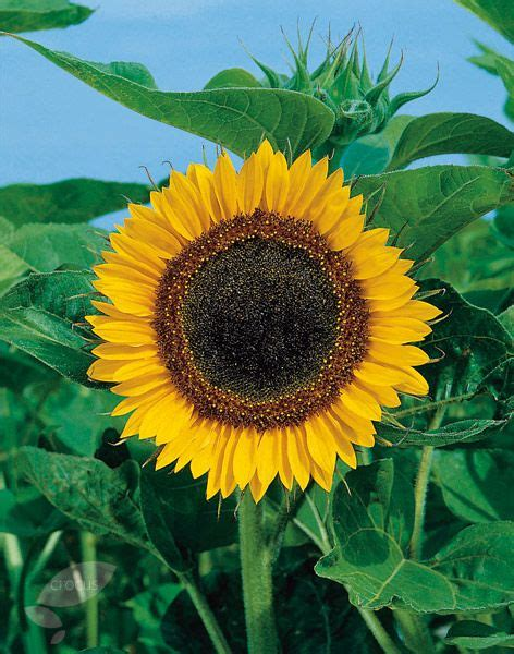Best 25 Planting Sunflower Seeds Ideas On Pinterest Planters Sunflower Seeds