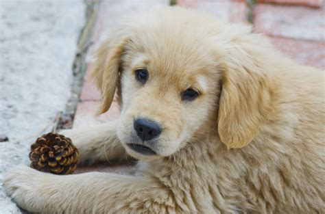 american golden retriever puppies american golden retriever puppies www pixshark images galleries with a bite