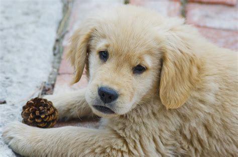 american golden retriever breeders american golden retriever puppies www pixshark