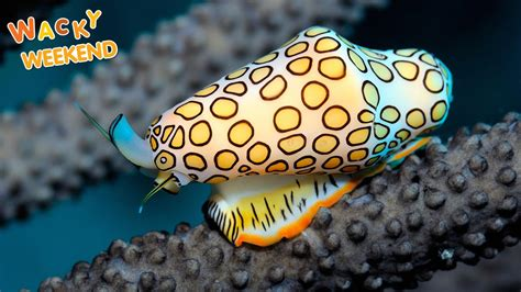 Nice Fun Facts About Christmas For Kids #4: Ww-sea-creatures-flamingo-tongue-snail-tile.ngsversion.1463136041131.adapt.1900.1.jpg