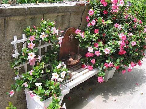 dipladenia fiore dipladenia come coltivare e curare questa pianta