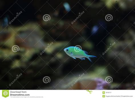 Mini Fish Blue small blue fish royalty free stock photography image 7879717