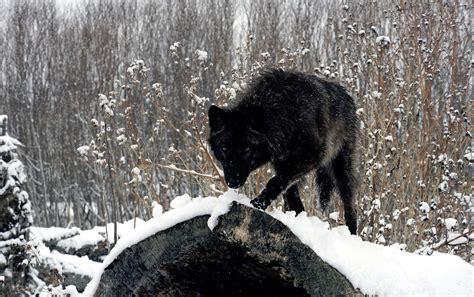 white wolf and black wolf 1600x1200 wallpapers wolf lobos la exuberancia de hades