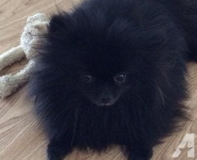 black pomeranian puppies for adoption pricless black pomeranian puppy for adoption for sale in detroit michigan