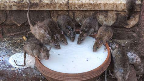 ratten in der wohnung k 246 nnen ratten durch die toilette in wohnungen klettern