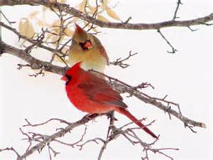 Backyard Birds Of North Carolina Virginia State Bird Northern Cardinal