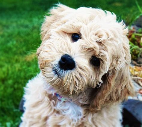 labradoodle puppies washington labradoodle pictures and photos 2 breeds picture