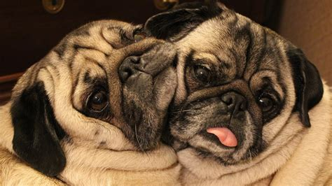 diabetic pug cuddling pugs your cure for a bad day the animal rescue site