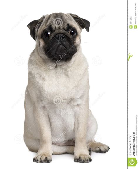 6 month pug pug 6 months royalty free stock photo image 13816315