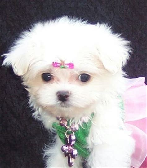 adopt a maltese puppy for free cuddle me personality maltese puppies for free adoption apache junction az