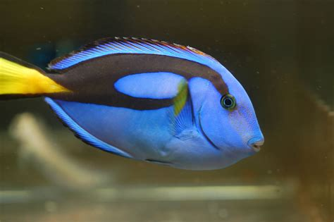 buy blue hippo tang and on sale at www reefhotspot