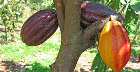 Bibit Kakao Unggul inilah desa kakao atau cokelat di jogja jogja istimewa