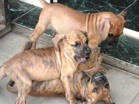 rottweiler puppies for sale canberra 10 weeks south boerboel south mastiff puppies for sale pets