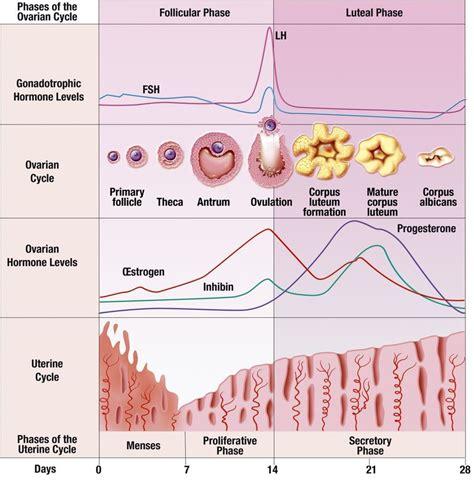 menstrual cycle basics