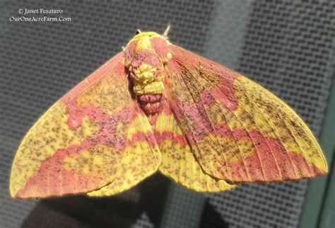 scow moth giant silk moths and their decline