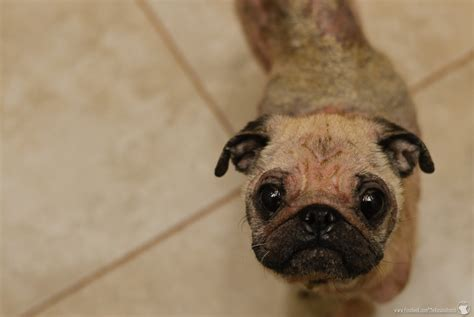 pug rescue tucson image gallery hairless pug