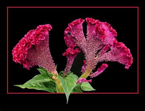 fiore cresta di gallo 189 cresta di gallo foto immagini piante fiori e